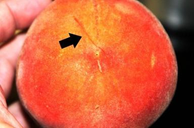 Peach preservation